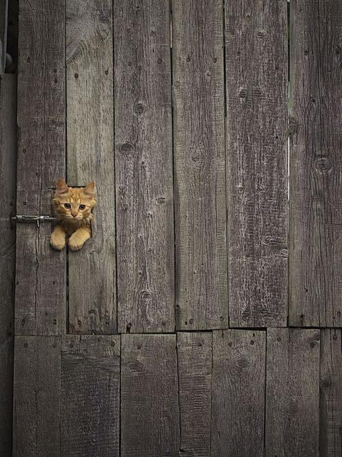 Animals - Cat, Fence.jpg
