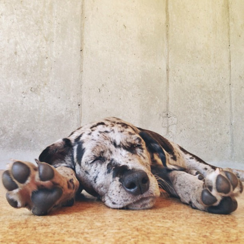 Animals - Great Dane.jpg